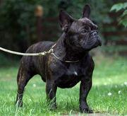 Deckrüde Französische Bulldogge Benny