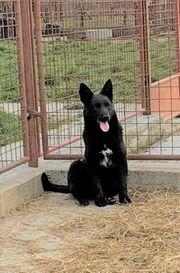 Schüchterne Gira kroatischer Schäferhund Mischlingswelpe