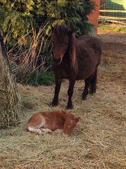 Mini-Pferde - Americn-Miniature-Horses