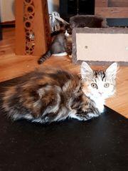 Mainconne-Perser-Mix-Kitten