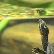 Moschusschildkröten Sternotherus Odoratus