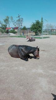 Pferd sucht Reiter - reitbeteiligung gesucht