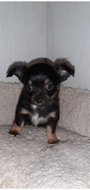 Süsse Chihuahua Welpe