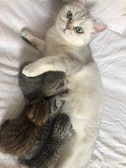 Reinrassige BKH Kitten Golden Tabby