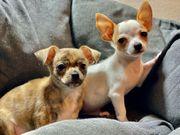 Bildhübsche Chihuahua Hündin
