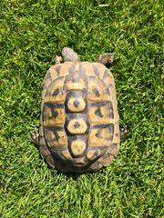 Landschildkröte Weibchen Testudo hermanni boettgeri