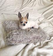 3-jahrige Chihuahua Rüde