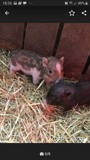 Mini-Glücks-Schweine suche liebevolles zuHause