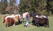 Verschiedene Ponys in allen Größen