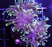 Meerwasser Korallenableger LPS SPS Putzergarnelen