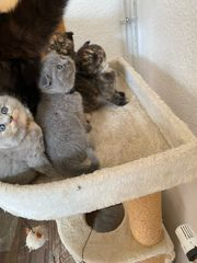 BKH 4 Kätzchen