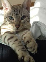 Snow-Bengal Katze unkastriert abzugeben