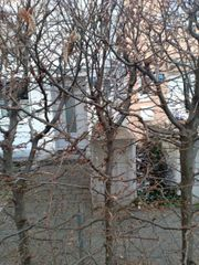 Hainbuche carpinius betulus