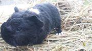 Junge wuschelige Meerschweinchen Lunkarya o