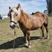 Haflinger stute pony zuchtstute beisteller