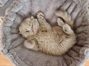 BKH Scottish fold Straight kitten