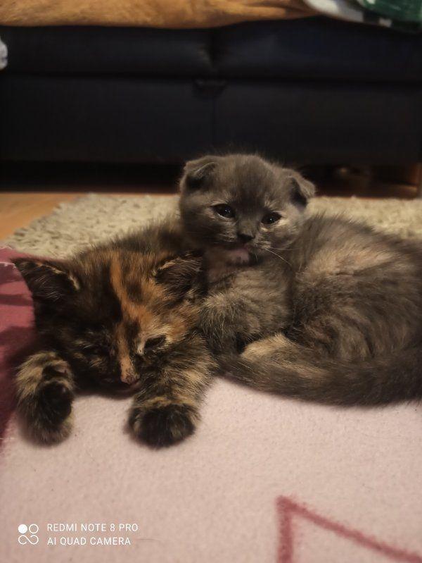 Zuckersüße Scottish Fold Kitten