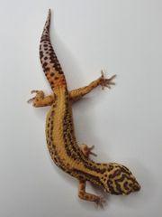 Leopardgecko 1 0 Bell Albino