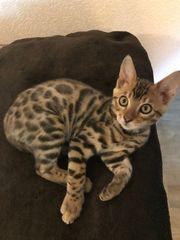 Bengal Kitten abzugeben