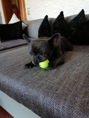 SUCHE Französische Bulldogge Kein Rüde