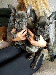 Französische Bulldogen Welpen mit langer
