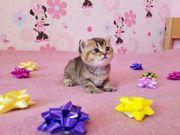 Bkh goldene Kitten zu verkaufen