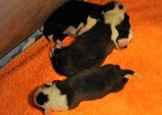 Süße Border Collie Babys Brüderchen