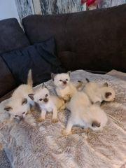 Heilige Birma Kitten frei