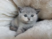 BKH Britisch Kurzhaar Katze Kater