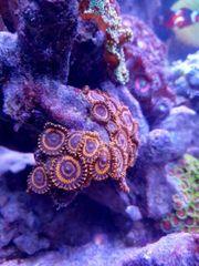 meerwasser Korallen Zoas