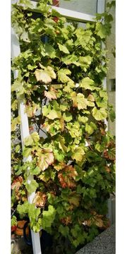 Große Pflanze roter kernloser Wein -