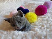 Reinrassige Russisch Blau Kitten mit
