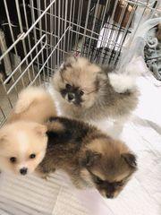 Teddybär Gesicht Pomeranian Welpen