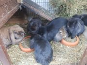 7 weibliche Kaninchen zu verschenken