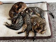 Bengal-Mix Kätzchen