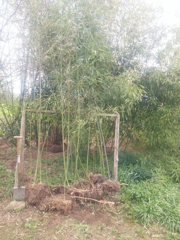 Bambus Phyllostachys Bissetii Grünrohrbambus 10