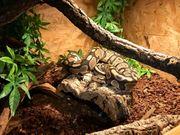 Königspython Python regius dt NZ