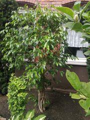 Benjaminus Ficus Benjamin