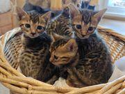Bengal Kitten mit TOP STAMMBAUM