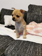 Pomeranian Chihuahua Welpen