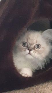 perser katzen zu verschenken