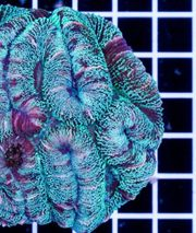 10 Korallenableger