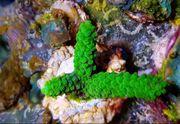 Meerwasser Acropora Enzmann