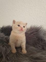 Wunderschöne BKH- Kitten
