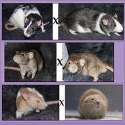 Ratten Welpen bei den SchnuffelRatten
