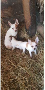 Niedliche Chihuahua Welpen
