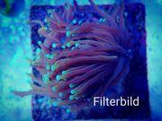 Euphyllia Dragonsoul Meerwasser