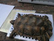 Landschildkröte Breitrand Marginata Weibchen