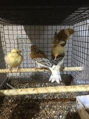 5 Kanarienvögel für 35