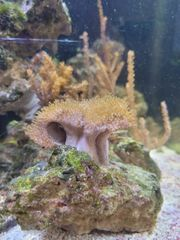Verschiedene Korallen Ableger